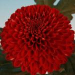 Pompon red