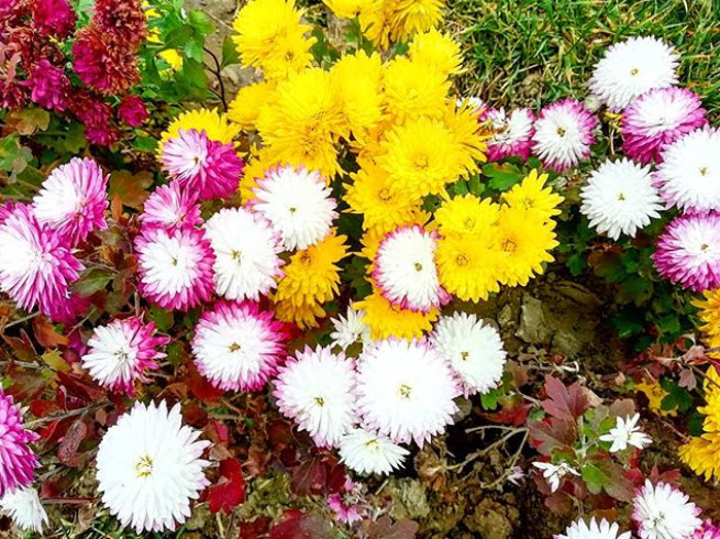 Хризантемы Дубки