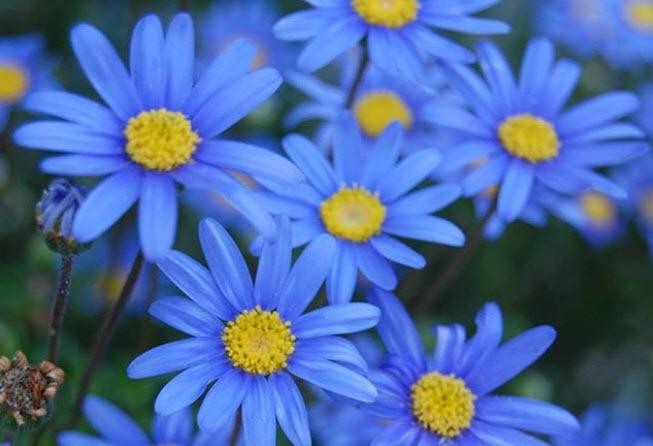 Голубая ромашка