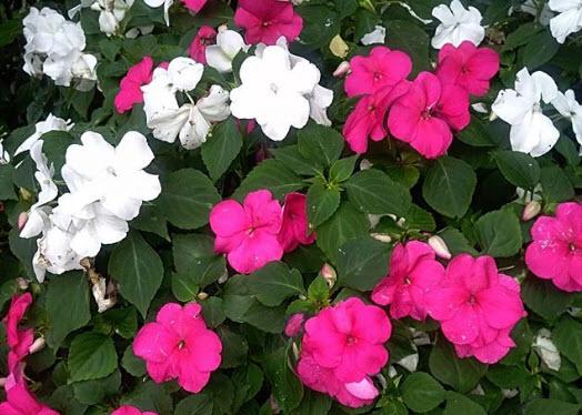 Какие цветы посадить на клумбе чтобы они сочетались друг с другом по цвету и высоте?